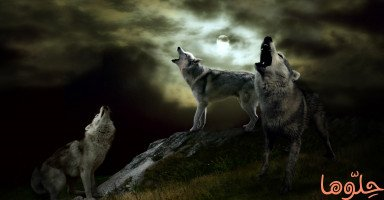تفسير رؤية الذئب في المنام ورموز حلم الذئاب بالتفصيل