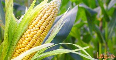 فوائد الذرة وعناصرها الصحية وأضرار الإكثار من الذرة