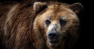 تفسير رؤية الدب في المنام والهروب من الدب في الحلم