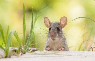 الفارة في المنام وتفسير رؤية الفئران في الحلم بالتفصيل