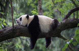 تفسير رؤية دب الباندا في المنام بالتفصيل