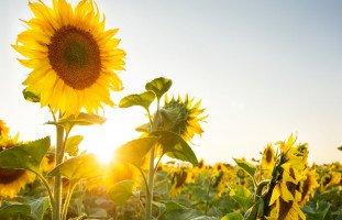 تفسير عباد الشمس في المنام وحلم بذور عباد الشمس