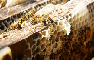 فوائد شمع العسل Beeswax وأضراره
