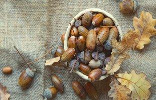 البلوط في المنام وتفسير حلم أكل وجمع ثمار البلوط