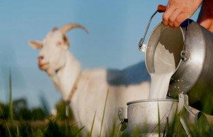 فوائد حليب الماعز للجسم وقيمته الغذائية