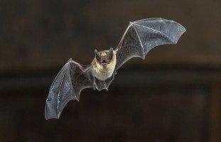 تفسير رؤية الخفاش في المنام وهجوم الخفاش في الحلم