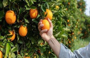 تفسير رؤية البرتقال في المنام وحلم أكل البرتقال بالتفصيل