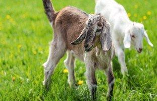 الماعز في المنام وتفسير هجوم الماعز في الحلم بالتفصيل